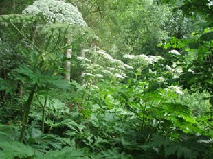 plante invasives