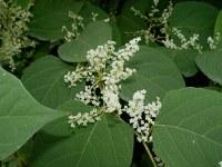 Reynoutria japonica 001